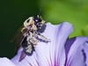 Common Eastern Bumble Bee (Bombus impatiens)