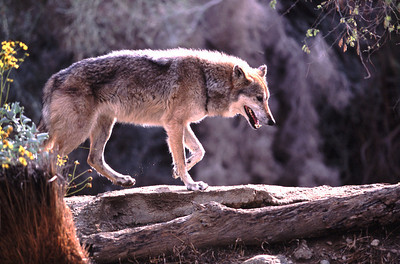 California wolf