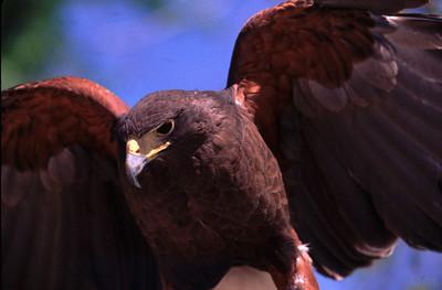 Harris'hawk