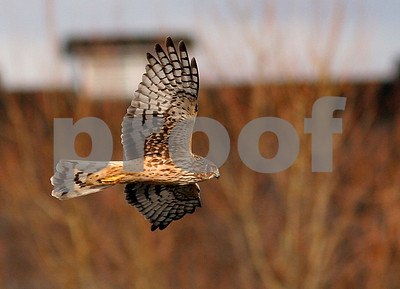 Northern harrier 4306crop1