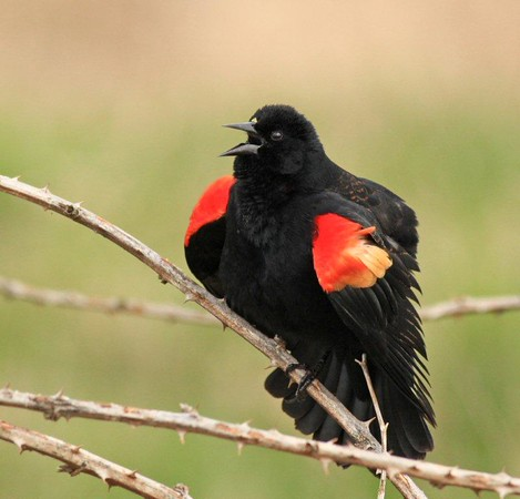 Red wing blackbird 3222c