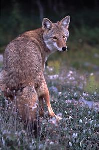 Coyote 1