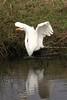 Great egret 3204c