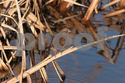 Song sparrow 5349