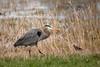 GB heron & RW blackbird 3185
