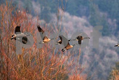 Canada geese flight 4715