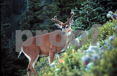 Blacktail buck1