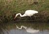 Great egret 3198