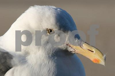 Seagull head 4678