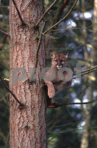 Cougar in tree 96 05 117a