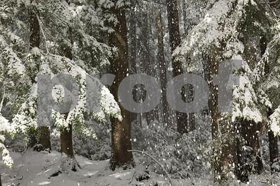 """""""old growth"""" , """"Douglas fir"""""""