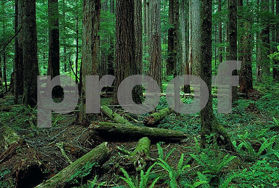 """old growth"" , ""Douglas fir"""