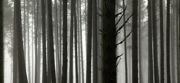 Fir & fog 0481c