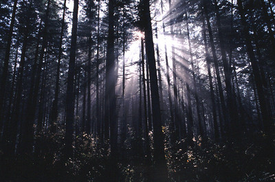 Sun shinning through fog in a Douglas fir forest.