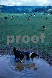 Cattle watering in a stream create water quality concerns for salmon and other instream uses.