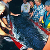 Volunteers attempt to move baby sperm whale, Physeter macrocephalus, in a stretcher from the beach where it had stranded hours before, to a holding tank at NELHA, the ocean thermal energy conversion lab in Kona Hawaii