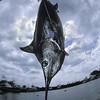 Pacific blue marlin, Makaira mazara , beig weighed at Honokohau Harbor, Hawaii ( Central Pacific Ocean )