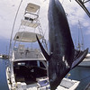 Huge Pacific blue marlin, Makaira mazara , beig weighed at Honokohau Harbor, Hawaii ( Central Pacific Ocean )
