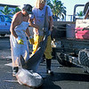 fishermen attept to lift 2.5 meter tiger shark,Galeocerdo cuvier, into the bed of a pickup truck, dried shark fins are worth $30 per pound. Kona, Hawaii ( Central Pacific Ocean )