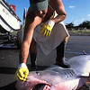 fisherman holds open the jaws of a tiger shark, Galeocerdo cuvier, captured for its fins and meat. Dried shark fins are worth $30 per pound. Kona, Hawaii ( Central Pacific Ocean )