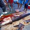 tiger shark,Galeocerdo cuvier, being butchered for its fins and flesh. Dried shark fins are worth $30 per pound. Kona, Hawaii ( Central Pacific Ocean )