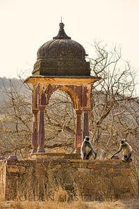 Gray Langur Monkey, Ranthambhore National Park, India