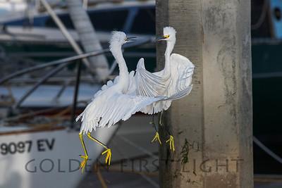 Snowy Egret, Moss Landing California