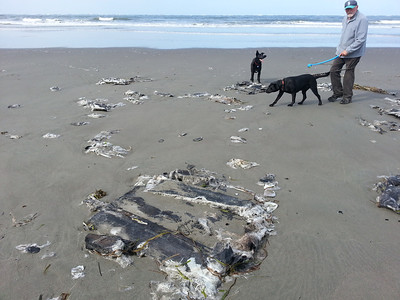 For the past few months, someone has dumped their half burnt toxic garbage onto the beach. I believe it's the same person. They seem to be scrapping rv's and campers. They scrap what they can, then burn the toxic remains. They then dump the half-burned leftovers onto to he beach. This is just south of the Warrenton Cannery approach. It's half-burnt fiberglass.
