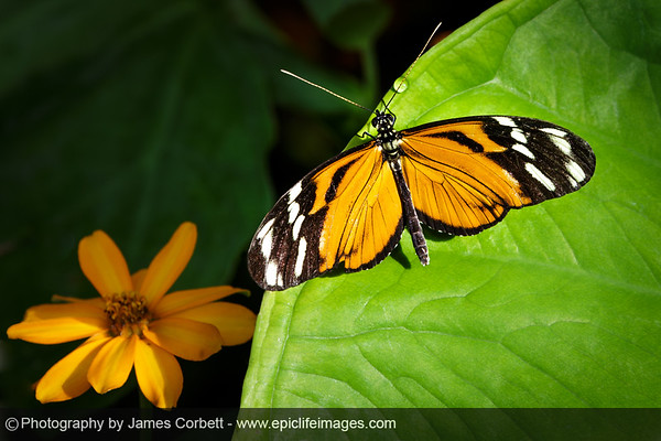 Tiger Longwing (Brookside Gardens, MD) in honor of National Start Seeing Monarchs Day