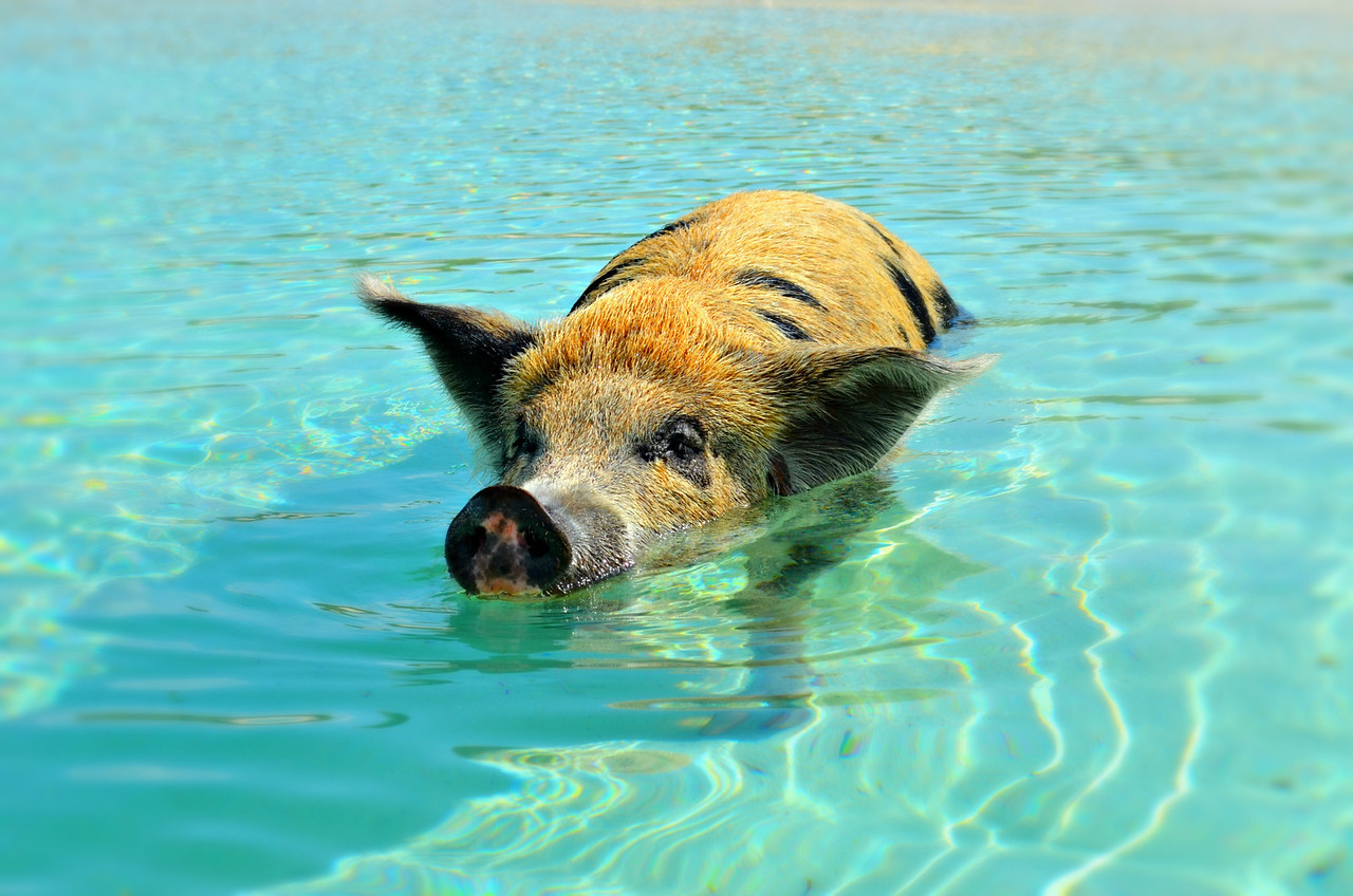 Pig Swimming In The Exumas, Bahamas