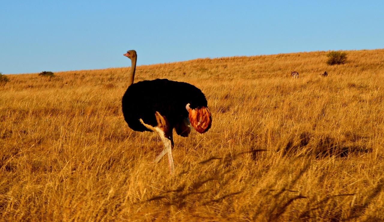 Ostrich, South Africa