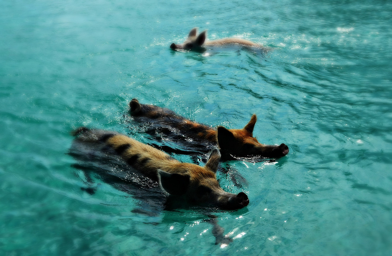 Swimming Pigs In The Exumas, Bahamas