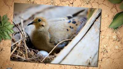 Mourning Dove Nest Time Lapse  © Copyright m2 Photography - Michael J. Mikkelson 2012. All Rights Reserved. Images can not be used without permission.