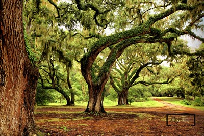 South Carolina Live Oaks