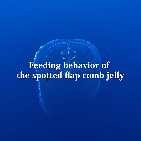 Feeding behavior of the spotted flap comb jelly