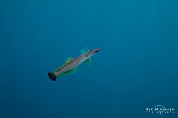 Juvenile fish of Remora brachyptera