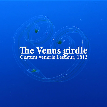 The Venus girdle