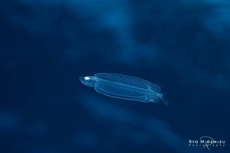 Larval-fish of Melanostomiidae