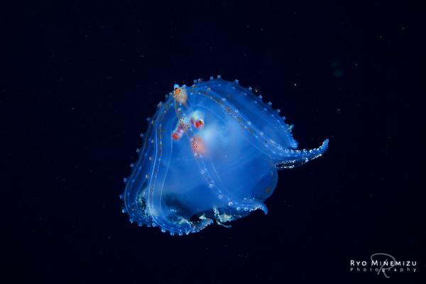 Defense of Telescope octopus
