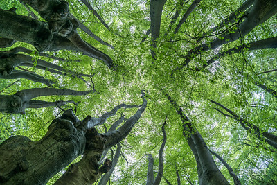 C6 Tree Canopy, Dulsmead Hollow
