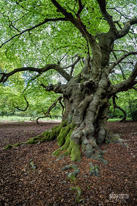 C11 Beech near Flagstaff Hill
