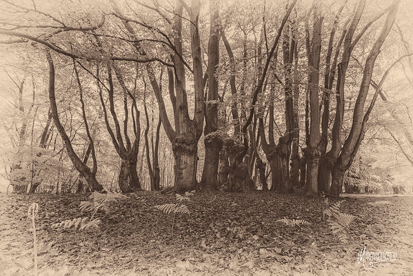 Ancient Tree Portraits in Sepia