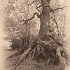 S24 Oak, Pole Hill