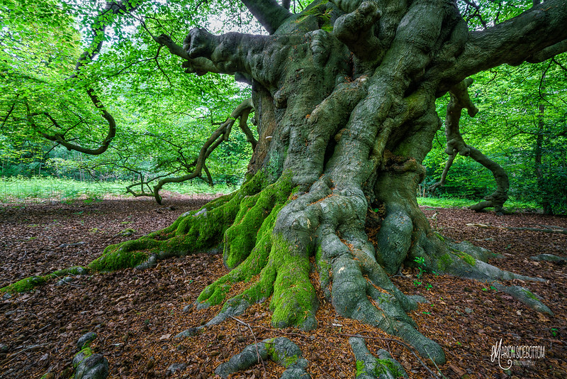 B10 Ancient Beech Roots