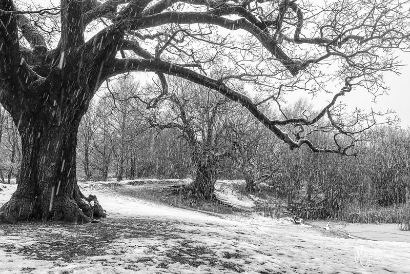B22 Ancient Oaks during Snow Shower