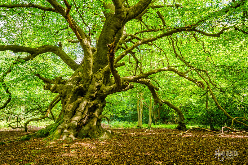 B9 Ancient Beech in Spring