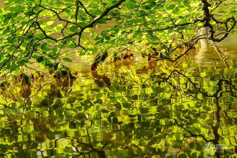 B23 Leaf Reflection Knighton Lake