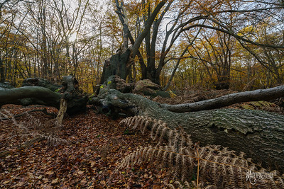 A collapsed beech pollard at Dulsmead Hollow