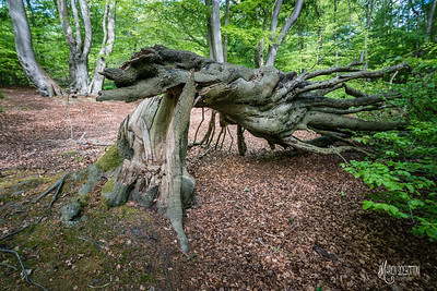 Fallen tree at Jack's Hill