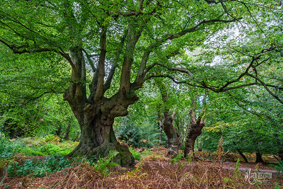 A beech and oak at High Beach